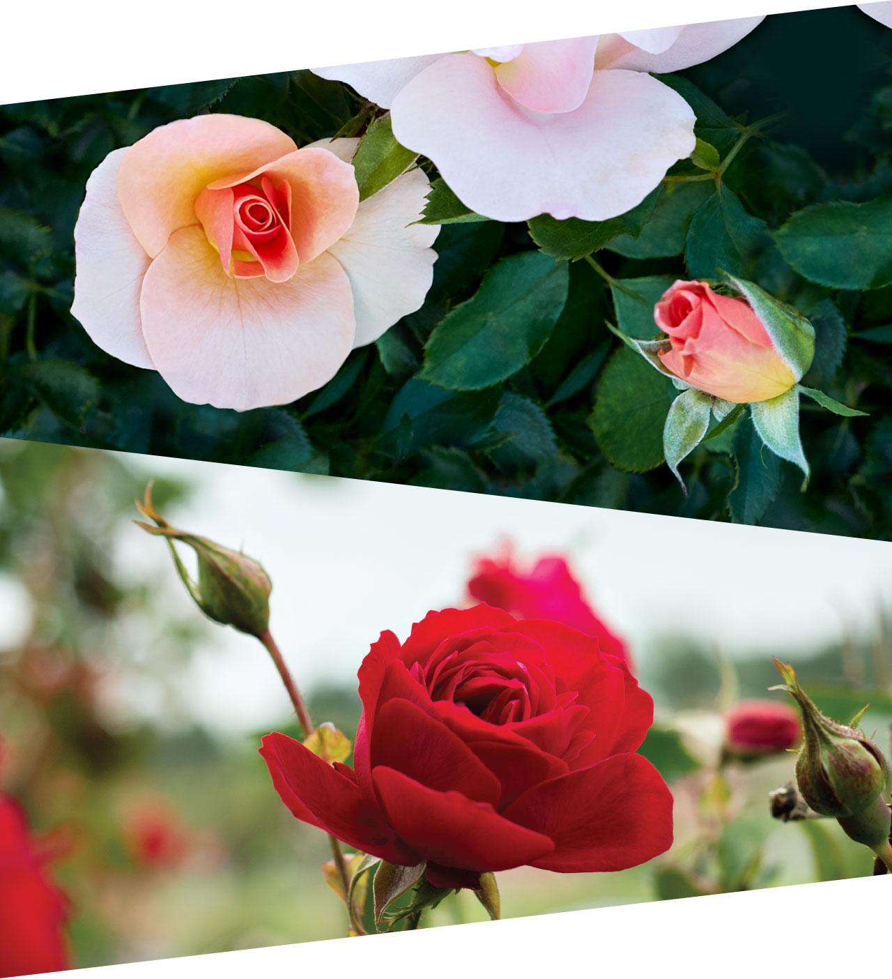Chinook Rose and Canadian Shield Images