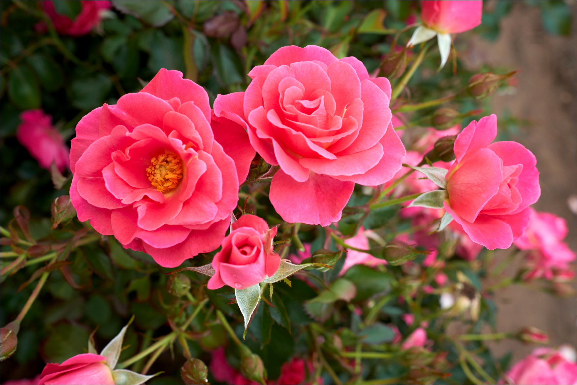 Chinook Rose